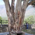 явление Ганеши на дереве